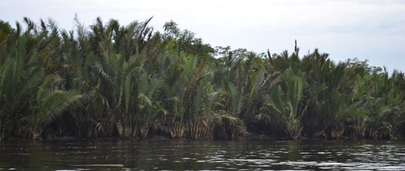 Hamparan Pohon Nipah Kab Inhil Sumber Alternatif Bbm Yang Luput Dari Perhatian Www Detikriau Org