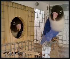 lovebird4