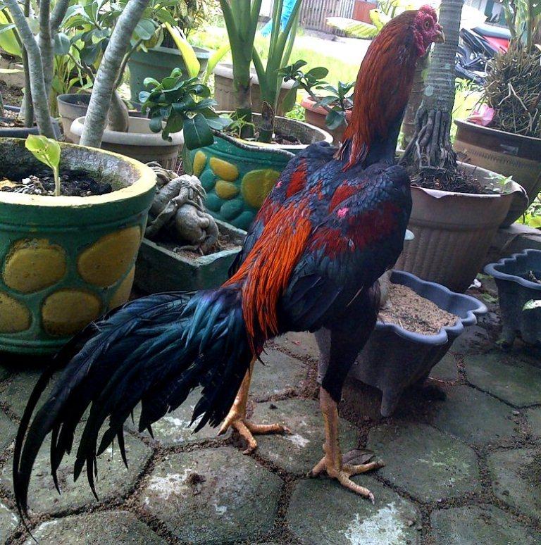 Foto Ayam Siam Yg Bagus Bisnis Ayam Bangkok Yang Menjanjikan Www Detikriau Org