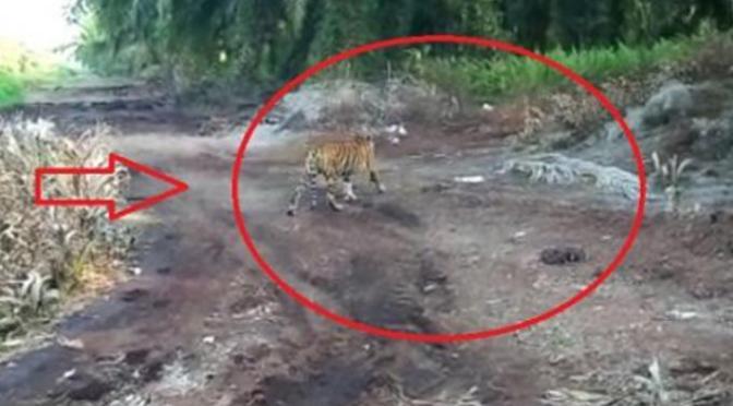 Usai Ditangkap, Harimau Bonita Dievakuasi ke Dharmasaraya
