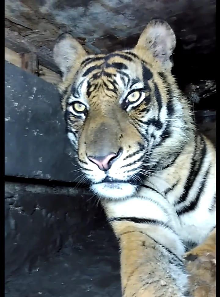 """Harimau Sumatra """"Atan Bintang"""" Tertangkap. Ini Penjelasan Lengkap Camat Pulau Burung"""